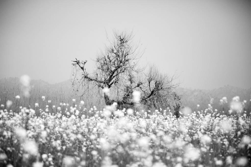 Árvore de algodão