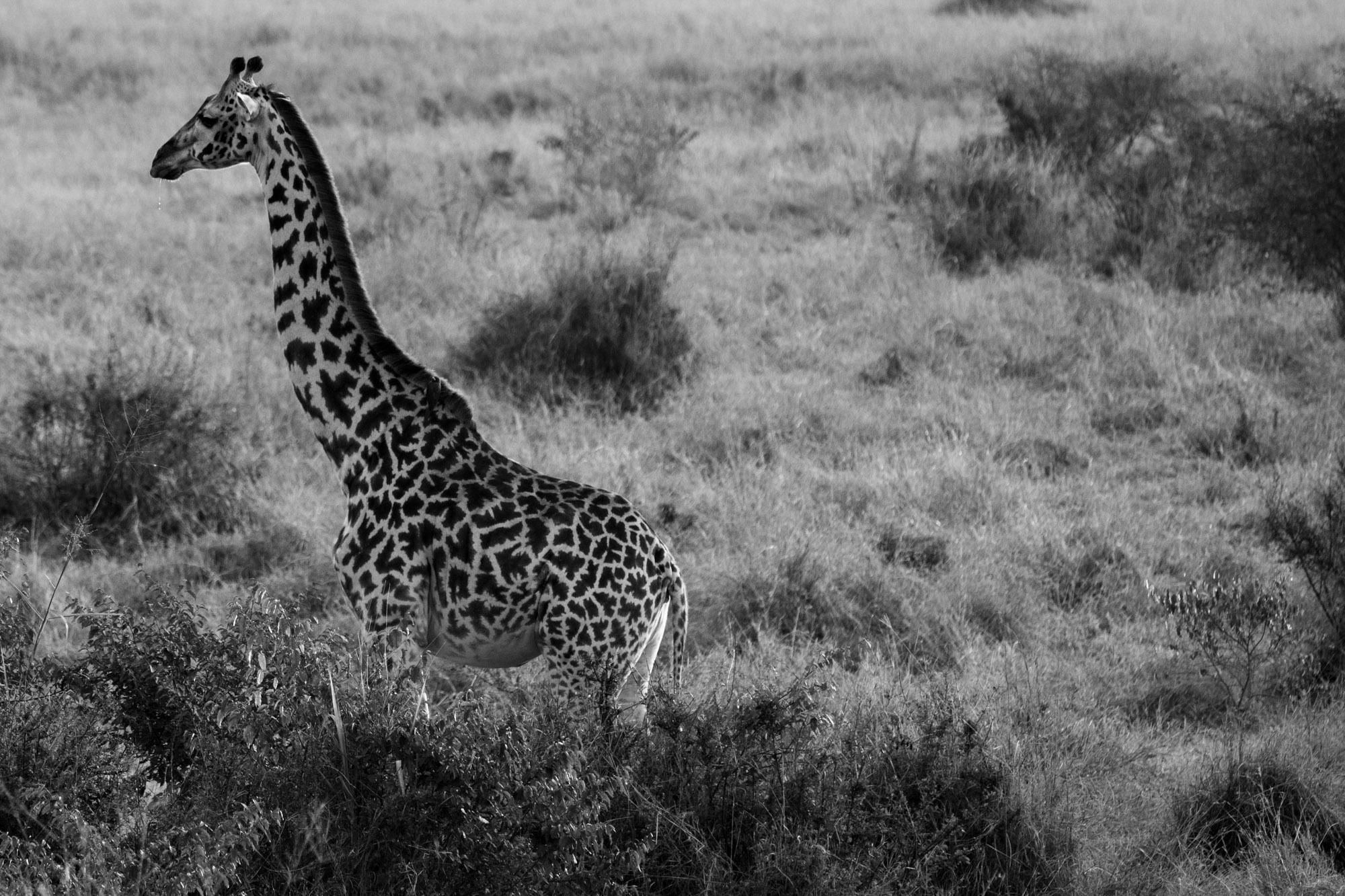 A baba da girafa